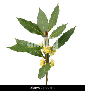 Twig of flowering bay laurel isolated on white background - Stock Image