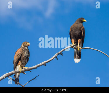 Two Harris Hawks (Parabuteo unicinctus), one immature  and one adult, perched on a tree branch with blue sky in the Sonoran Desert of Tucson (Arizona) - Stock Image