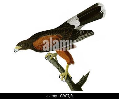 Harris s Hawk, Parabuteo unicinctus, birds, 1827 - 1838 - Stock Image