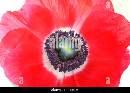still life close up single red anemone flower head on white - fresh and contemporary  Jane Ann Butler Photography - Stock Image
