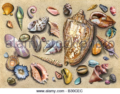Volute Shell Medley - Stock Image