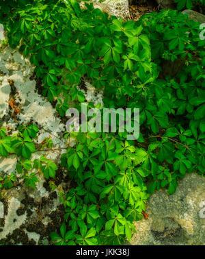 Lichens & Vines on a Boulder - Stock Image