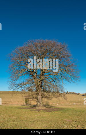 Silhouette of a bare Sycamore tree against a deep blue clear sky in strong winter sunshine with copy space - Stock Image