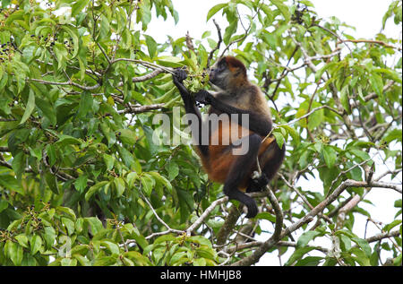 Central American Spider Monkey (Ateles geoffroyi) eating fruit, Tortuguero National Park, Costa Rica. - Stock Image
