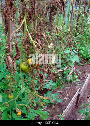 Unripe tomatoes in greenhouse with dead brown leaves damaged by phytophthora close up - Stock Image