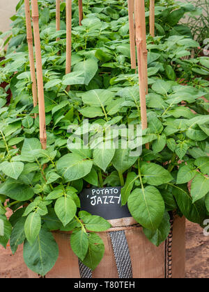 Potato Jazzy in grow sack, 8 litre, spring season planting, home growing and flourishing in a greenhouse situation. - Stock Image