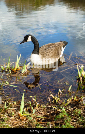 "Canada Goose, ""Branta Canadensis"", near the lake shore. - Stock Image"