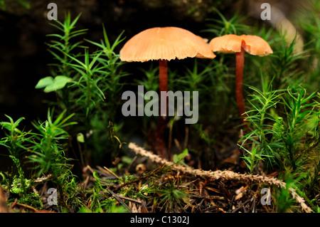 rickenella fibula - Stock Image