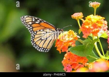 A migrating monarch butterfly feeding on lantana. - Stock Image