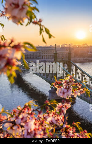 Budapest, Hungary - Beautiful and empty Liberty Bridge over River Danube at sunrise with cherry blossom at foreground. Spring has arrived in Budapest - Stock Image