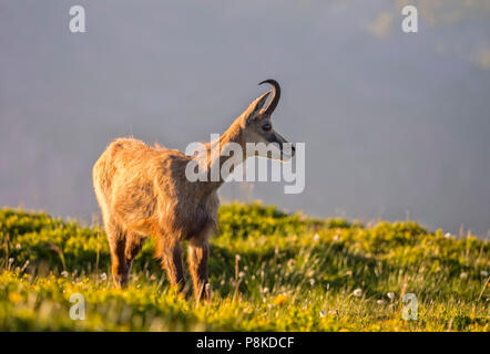 Evening chamois II - Stock Image