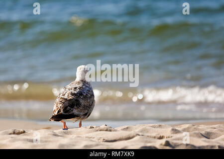 Lonely wild sea bird looks into the sea water what you can see in Kolobrzeg, Poland - Stock Image