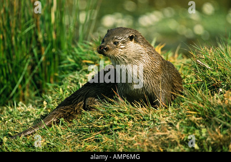 EURASIAN OTTER Lutra lutra on riverbank - Stock Image