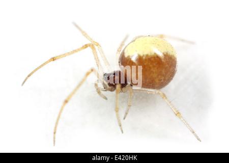 Female Neottiura_bimaculata spider, part of the family Theridiidae - cobweb weavers. Isolated on white background. - Stock Image