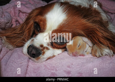 Dog and baby rabbit together. animal friendship. Cute animals pets. - Stock Image