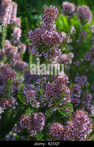 Tiny pink flowers on heather growing wild in the Mediterranean - Stock Image