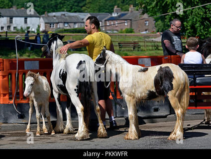 Gypsy traveller with Coloured Cobs. Appleby Horse Fair 2018. Appleby-in-Westmorland, Cumbria, England, United Kingdom, Europe. - Stock Image