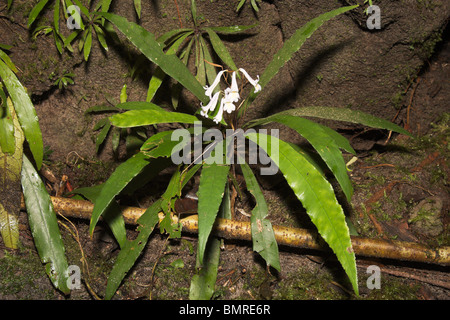 White tropical rainforest flower, Borneo - Stock Image