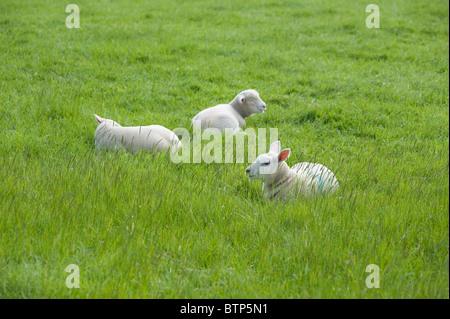 Lambs, Dorset, UK - Stock Image