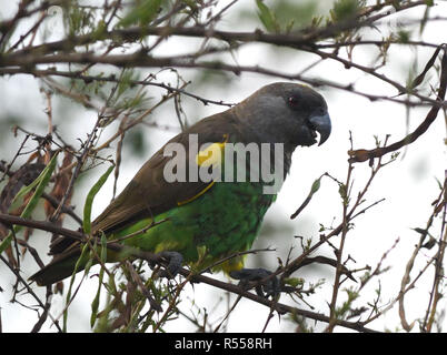A Meyer's parrot or brown parrot (Poicephalus meyeri) in a spiny shrub. Queen Elizabeth National Park, Uganda. - Stock Image
