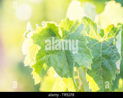 Grapevine in Setubal wine region in Portugal. - Stock Image