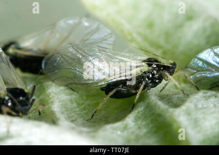 Black bean aphid, Aphis fabae, on globe artichoke leaf, Berkshire, June - Stock Image