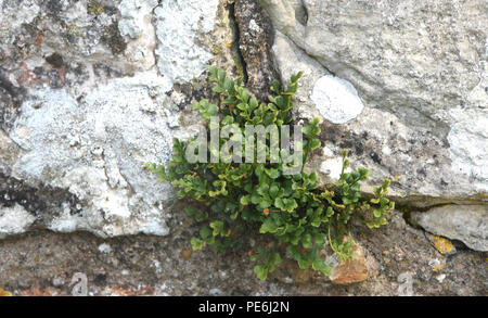 The fern, wall rue, (Asplenium ruta-muraria) grows in the lime mortar in the walls of the ruins of Bayham Old Abbey. Frant, East Sussex, England.    U - Stock Image