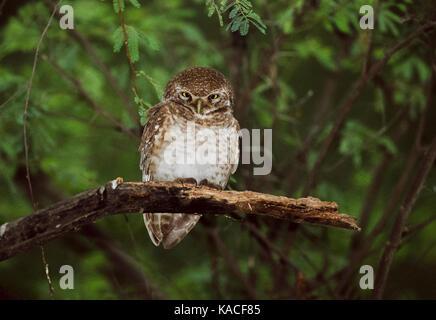 Spotted Owlet, (Athene brama), Keoladeo Ghana National Park, Bharatpur, Rajasthan, India - Stock Image