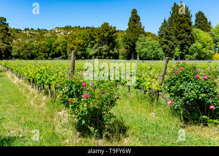 Production of rose, red and white wine in Alpilles, Provence, South of France, view on vineyard in early summer - Stock Image