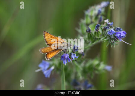 Large skipper male feeding on vipers bulgloss hungary June 2015 - Stock Image