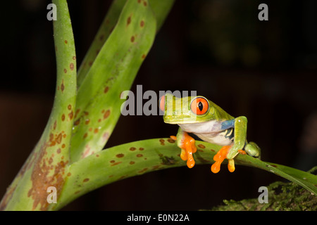 Red Eye Treefrog, Arenal Volcano, Costa Rica, Central America. Controlled situation (Agalychnis callidryas) - Stock Image
