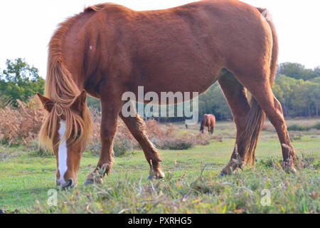 New Forest ponies enjoy the last of the sunny weather before arctic weather arrives this weekend. - Stock Image