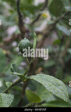 Immature fruit on a lemon tree branch, with water droplets after a rainstorm. - Stock Image
