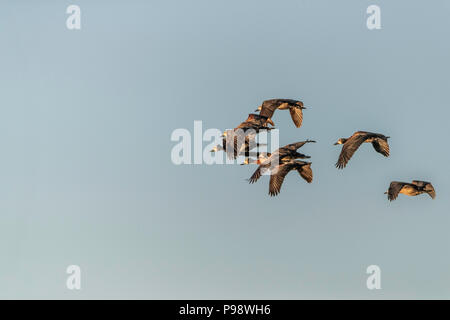 Flock of Egyptian Geese in the air, Chobe, Botswana - Stock Image