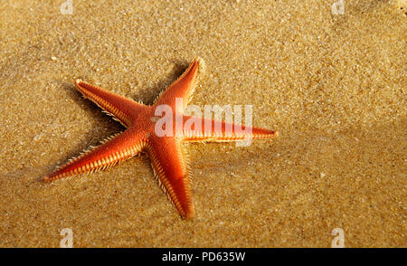 Perspective of a Sand Starfish aka Comb Starfish (Astropecten sp.) at the beach half in the clear water at sunset yellow light. Lagoa de Albufeira bea - Stock Image