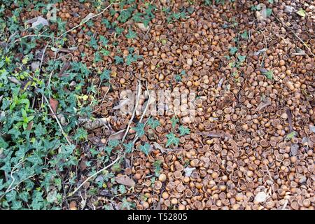 Hazelnut shells used as ground cover, at the Oregon Garden in Silverton, Oregon, USA. - Stock Image