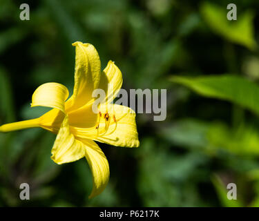 A bright yellow lemon lily, Lilium parryi, in the sunshine in the garden with a green leaf background. - Stock Image