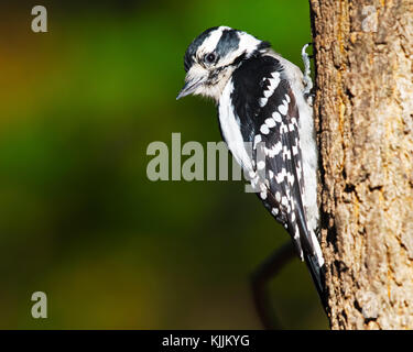 Downy Woodpecker Scaling Tree - Stock Image