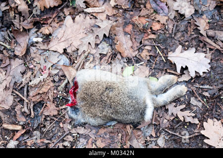 A partially eaten common rabbit, Oryctolagus cuniculus, abandoned by a fox lies on a woodland path. the picture - Stock Image