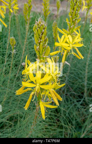 Asphodeline lutea,kings spear,yellow asphodel,bâton de jacob - Stock Image