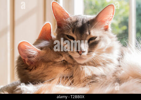 Somali cat breed. Shadow is a 4-year-old Blue male and Kasha is a 1-year-old Fawn female. Somalis have large ears. - Stock Image