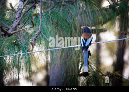 Long tail bird on electric wire - Stock Image