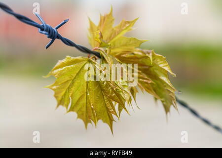 Spring maple leaves hanging on barbed wire. Acer. Detail of lush young green twig caught on steel fence with sharp spikes. Blurry background. Freedom. - Stock Image