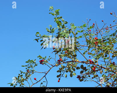Wild rose bush with red ripe hips on blue sky background - Stock Image