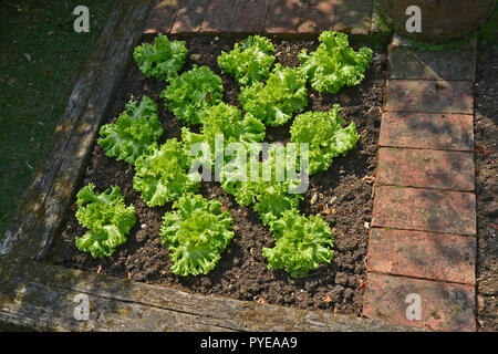 Lettace 'Lollo Bionda' in a raised contained part of a vegetable garden - Stock Image