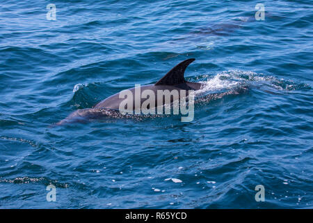 A Dolphin swimming off of the coast of Lagos in the Algarve region of Portugal. - Stock Image