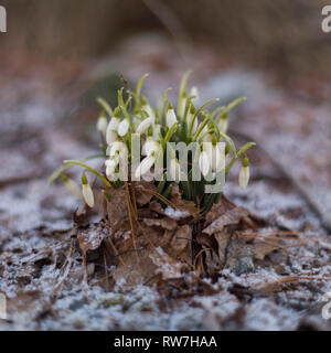Snowdrops Emerging through Fallen Leaves and Light Snow - Stock Image