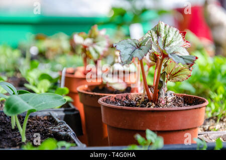 Young begonia seedlings growing in plant pots in a greenhouse. - Stock Image