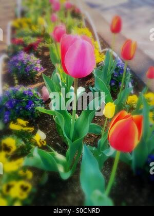 Colorful flower bed of pink and orange tulips with yellow pansies and violets. - Stock Image