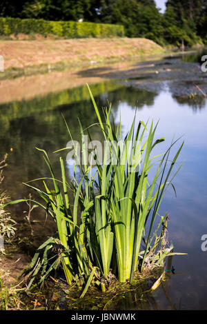 Grass growing out of the water in a lake in a sunny rural day - Stock Image